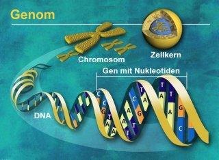 Menschliches Genom (fast) entschlüsselt