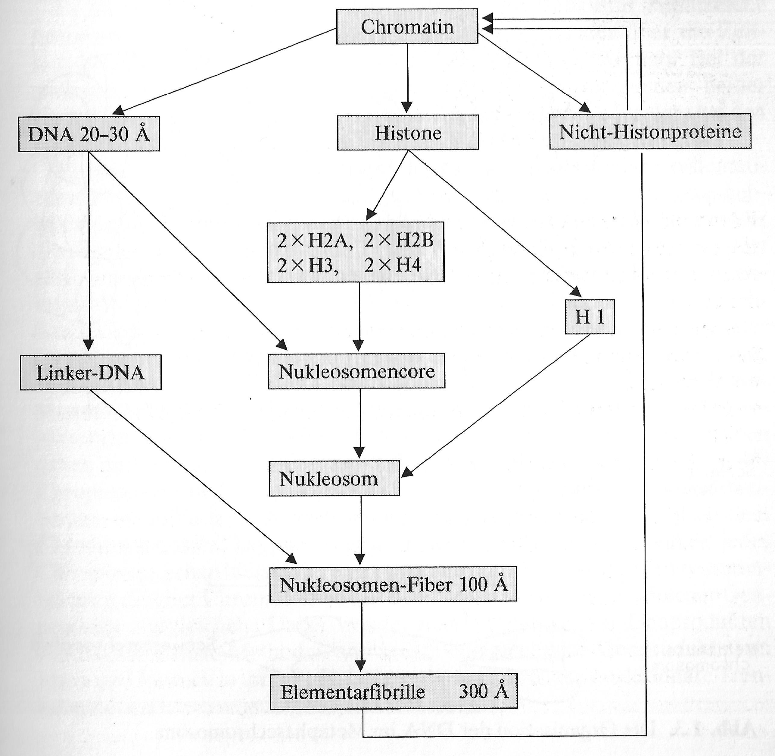 Struktur des Chromatins – Neubecks Seiten