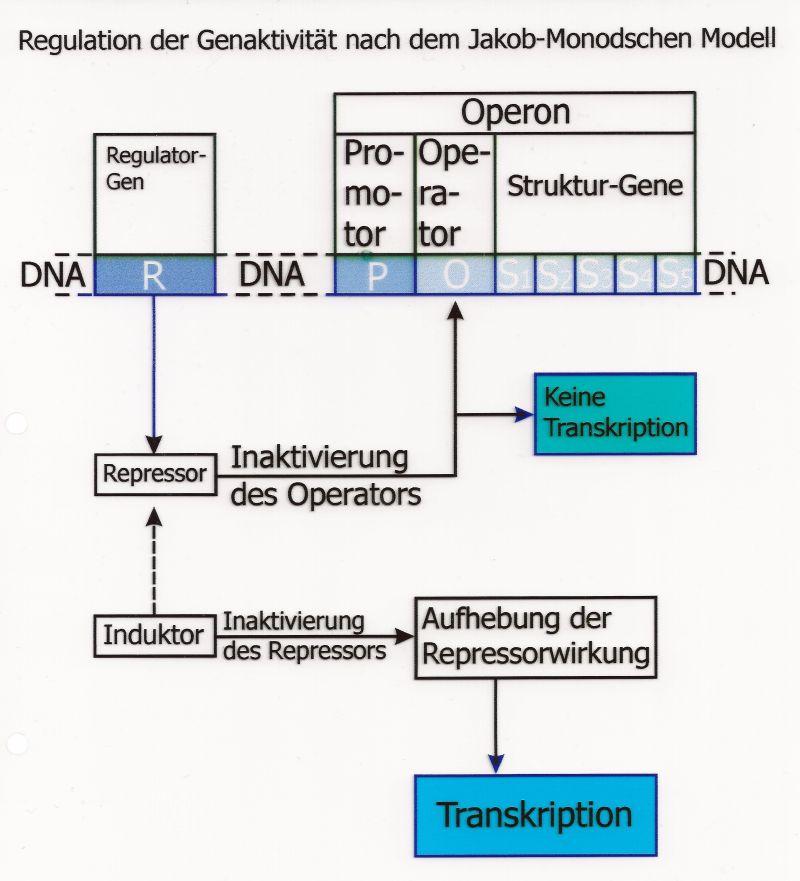 Regulation der Genaktivität
