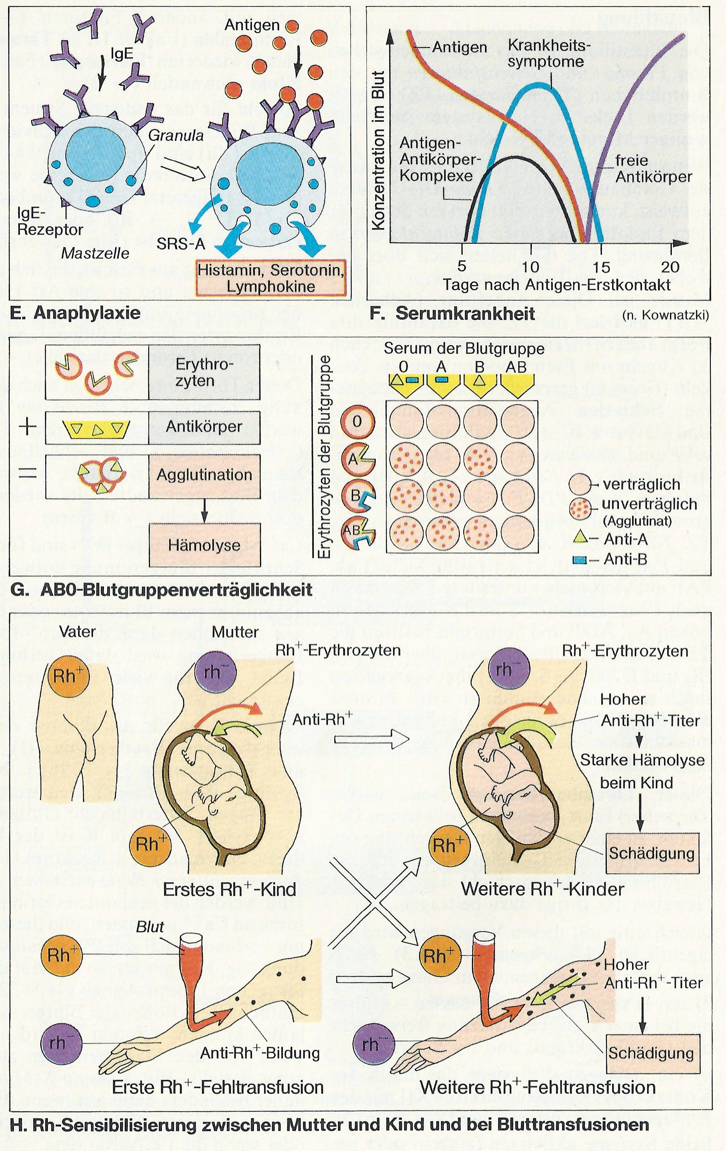 zellarten sind zur phagozytose befähigt