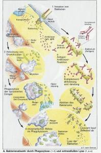 immunantwort_bakterienabwehr_phagozytose